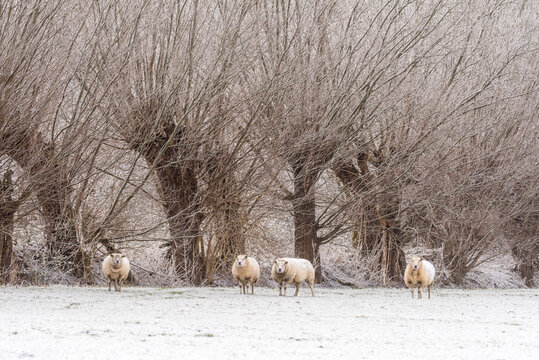 Texelaar sheep standing in the snow on farmland in The Netherlands with bare pollard trees in the background