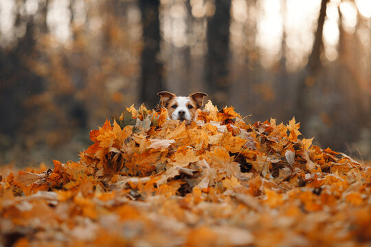dog in yellow leaves. sweet jack russell terrier in nature in autumn park