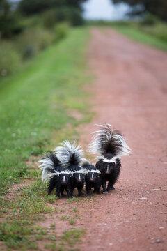 Family of smelly skunks walking toward camera on dirt road