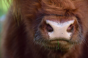 Close up of the snout of a highland cattle, which is brown and very shaggy and hairy, with a blade of grass in its mouth
