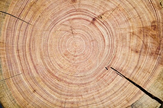 Tree rings texture close up. Saw cut of an arctic pine trunk close-up. Tree rings on an arctic pine split. Tree rings of pine close-up. Fragment of Pine log walls. Walls of wooden log house close up.