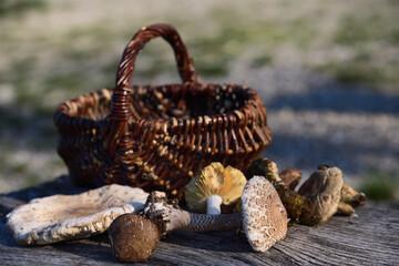 Various freshly picked mushrooms lie in front of a wicker basket outdoors