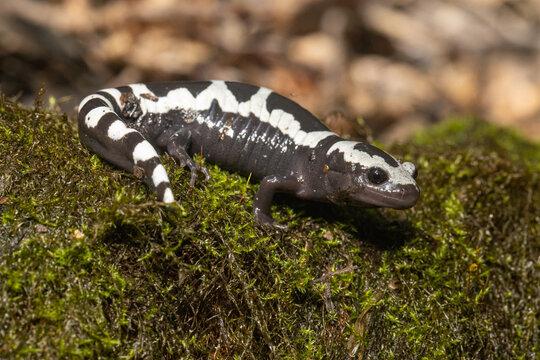 Male marbled salamander - Ambystoma opacum
