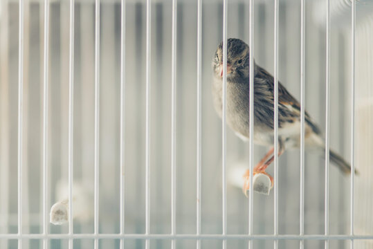 Canary bird locked in the cage