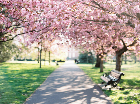 Dreamy image of cherry blossom in a London park