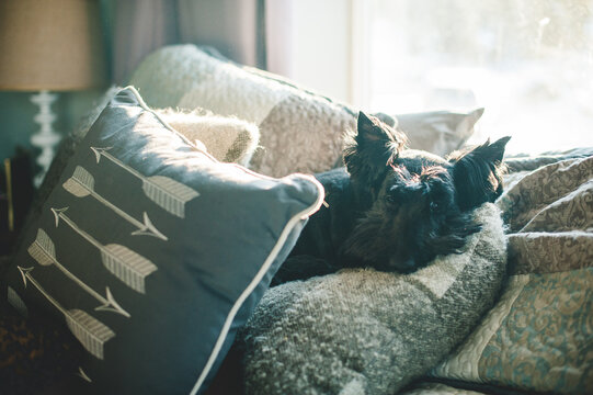 Scottish Terrier in the good spot