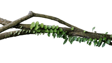 Wall Mural - Tropical rainforest Dragon scale fern (Pyrrosia piloselloides)  epiphytic creeping plant with round fleshy green leaves growing on jungle liana vine plant isolated on white with clipping path.