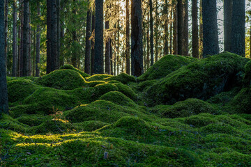 Fresh green moss covering the floor of a fir and pine forest in Sweden