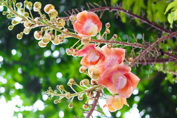 Shorea robusta flower or cannonball tree branch hanging on tree in garden under view background
