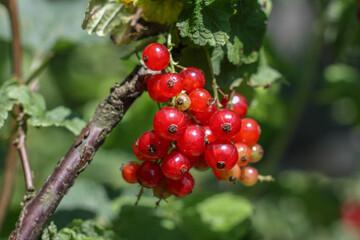 Obraz porzeczka czerwony owoc - fototapety do salonu