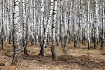 Papiers peints Bosquet de bouleaux Trunks of birch trees, birch forest in spring, panorama with birches