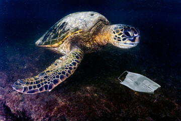 green turtle underwater while eating a covid mask abandoned on blue sea near the beach