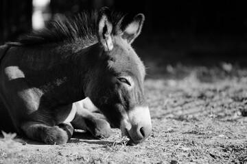 Sleepy mini donkey getting rest in farm field.