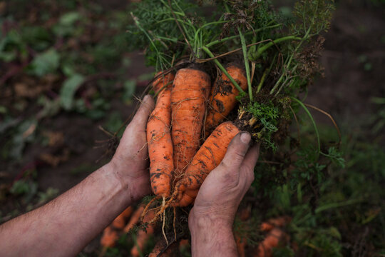 farmer's hands are holding freshly picked unpeeled carrots against the backdrop of the earth