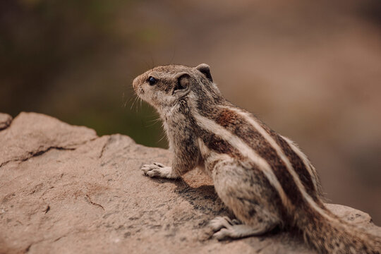 Closeup Indian palm squirrel or three striped palm squirrel sitting on stone in natural environment in India