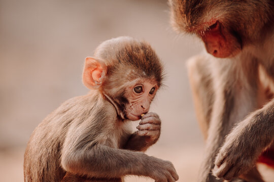 Rhesus macaque or Macaca mulatta baby and mother sitting in natural environment in India