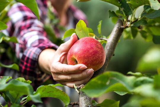Farmer picking red apple from tree
