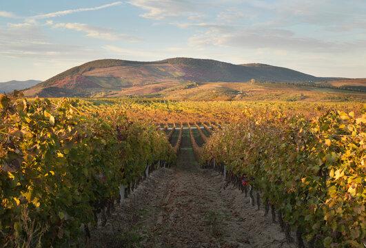Autumn in the vineyards.