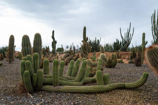 Desert of Cacti mature plants