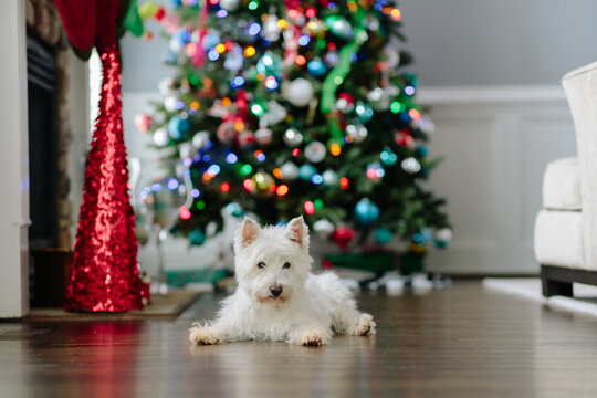 Cute white laying on a hardwood floor in front of a christmas tree