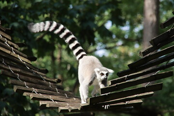 Printed kitchen splashbacks Monkey Lemurs are climbing in the Apenheul in Apeldoorn