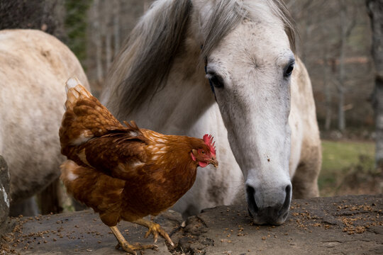 Horse and chicken in free roaming farm