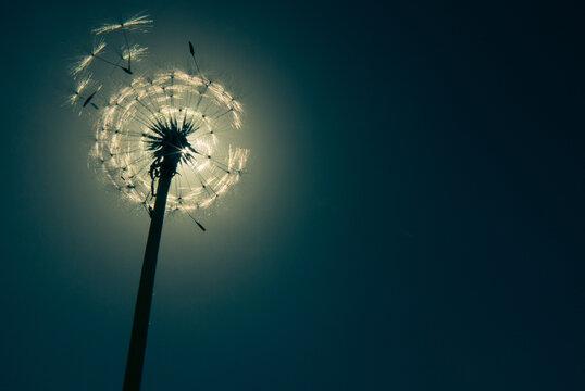 dandelion seed head hiding the sun