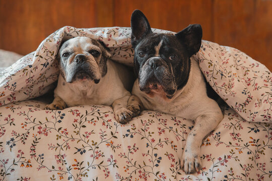 Adorable French Bulldogs lying on bed under soft blanket and resting at home while looking at camera