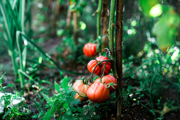 Ripe red tomatoes on branch of tomato plant growing on soil in garden