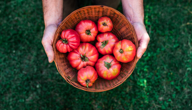 From above crop unrecognizable male gardener holding wicker bowl with fresh ripe red tomatoes during harvesting season in garden