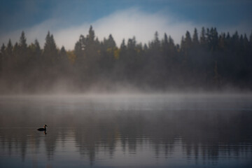 Duck swimming on calm lake with mist in background