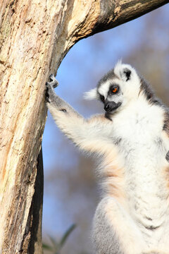 Extremely cool lemur dude