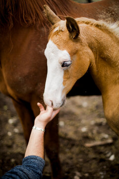 Young colt smelling man's hand while standing close to mother horse
