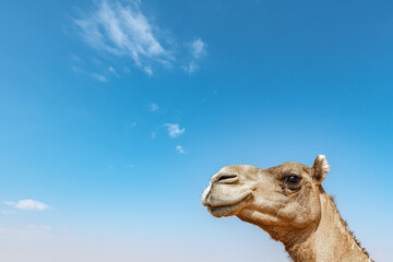 Closeup of Camel head against blue sky with large copy space in the blue sky