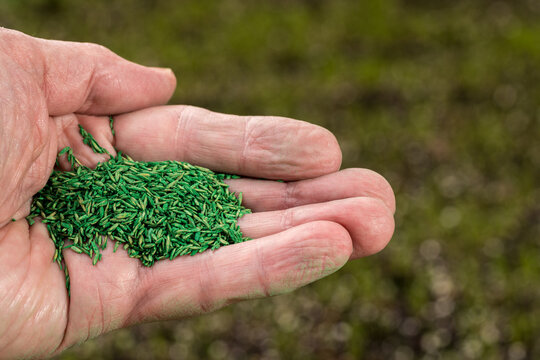 Senior male caucasian hand holding green coated grass seeds for repairing lawn with new drought resistant blend