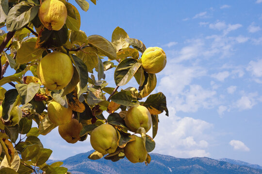 Autumn. Branches of quince tree ( Cydonia oblonga ) with leaves and  ripe fruits on sunny day