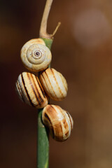 Four small snails with their snail shells hang from a green stem in nature