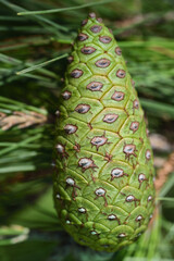 Close-up of a closed cone of a pine tree against a green background and pine needles