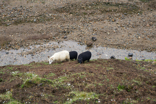 Sheeps in iceland highland sheep