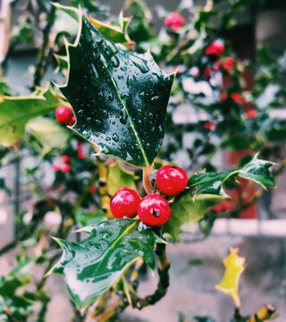Holly berries with dew drops