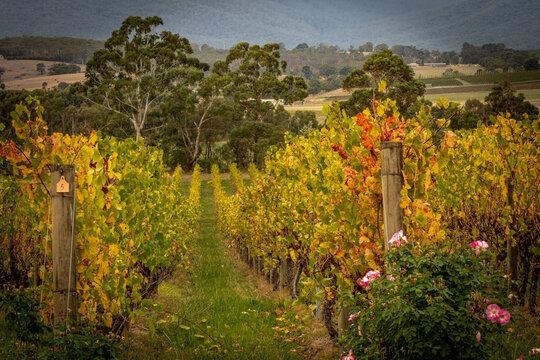 Vineyard in Autumn - Yarra Valley, Victoria, Australia
