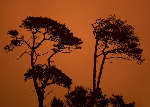 Monterey cypresses against orange sky in California as a result of the Dolan Fire at the Big sur, USA