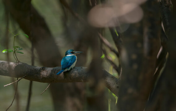 Collared Kingfisher perching on tree branch , Thailand