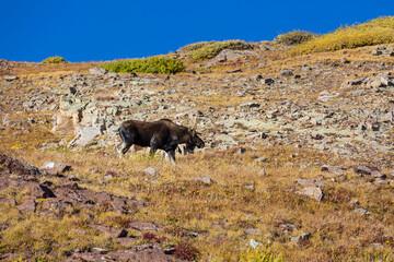 Moose in autumn mountains