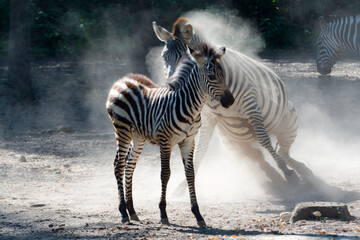 Lowland zebra foal and mother having dust bathing
