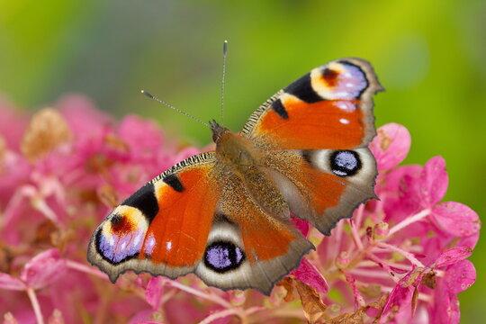 Tagpfauenauge Schmetterling Nahaufnahme in der Natur