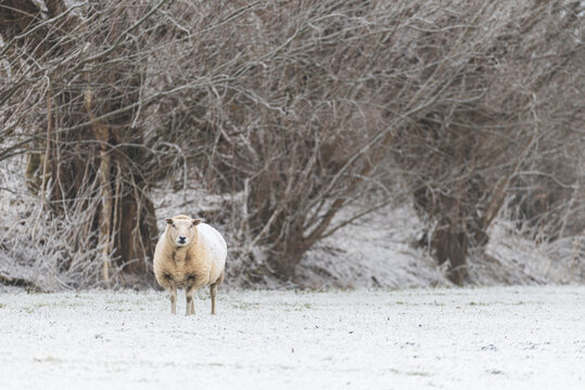 A texelaar sheep is standing in the snow with bare pollard trees in the background