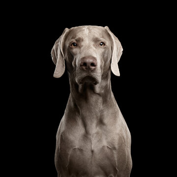 Close-up Portrait of Weimaraner dog Looking in Camera on Isolated Black background