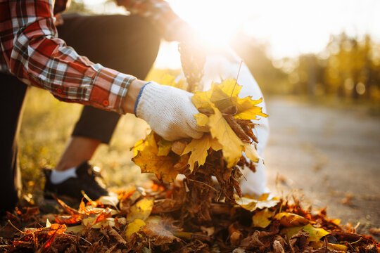 Male volunteer grabs a pile of fallen leaves and puts them into a garbage bag in the park. Man wearing gloves stacks the old colorful yellow and red leaves into a sack. Seasonal cleaning concept.