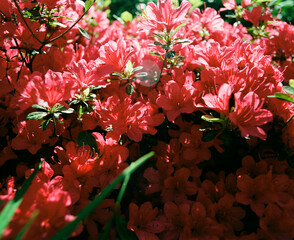 Beautiful red azaleas closeup in sun and shade